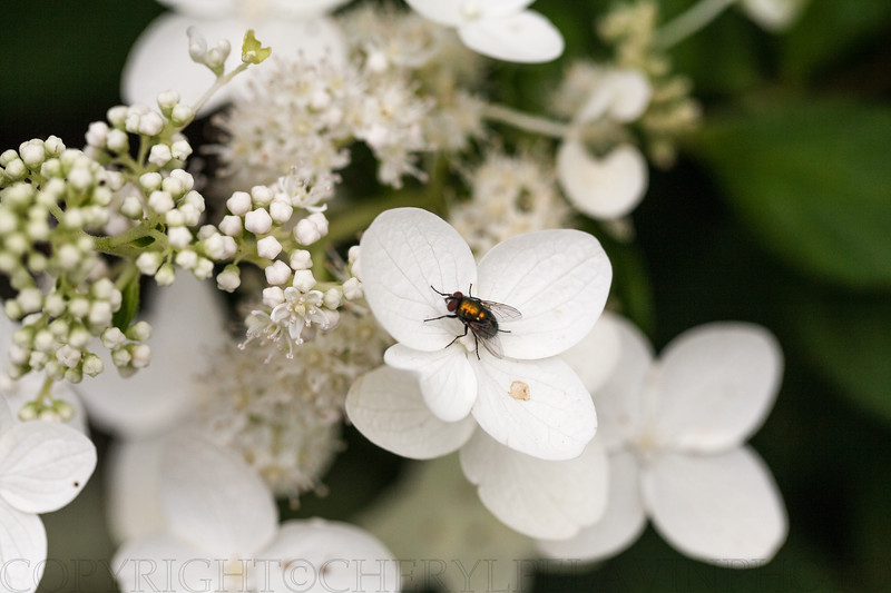 Orange Iridescent Fly and White Hydrangea