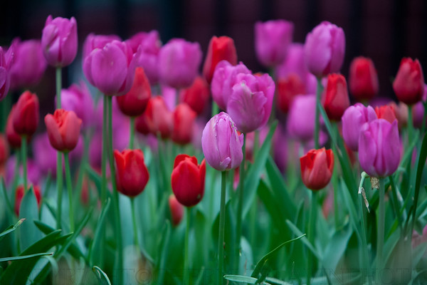 Crimson and Deep Pink Tulips