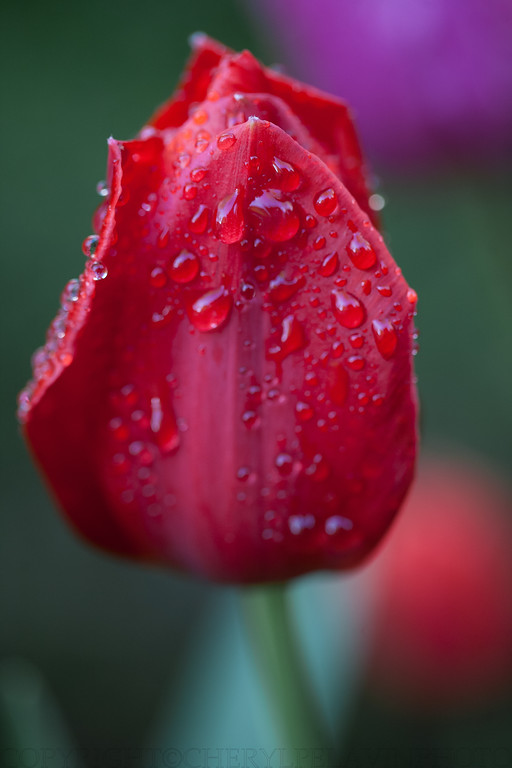 Red Tulip with Rain Drops