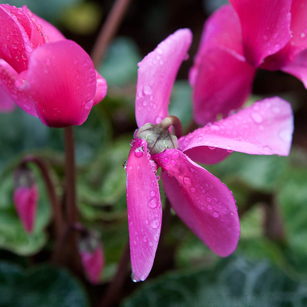 Bowing Cyclamen