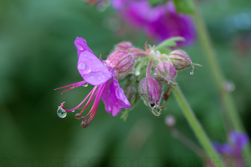 Magenta Geranium with Drops