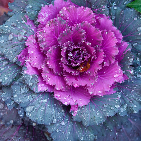 Ornamental Cabbaage and Dew