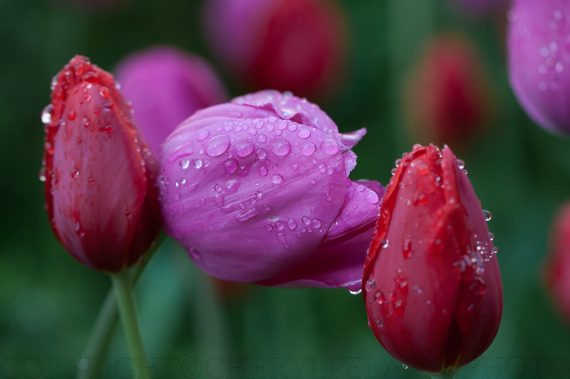 Red & Pink Tulips, Duane Park