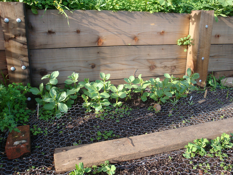 Favas planted approx. Dec 1