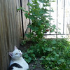 You can only see around five raspberries on this raspberry bush, but that's because I eat them all. We get a handful of raspberries around twice a week. They're delicious :-)<br /> <br /> It's a bit hot out right now, so the cat likes to cool his belly in the corners where nothing is growing.