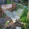 Brave artichoke, transplanted about three weeks ago