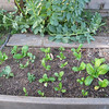 Broad leaf mustard, mostly, with a few dwarf kale plants on the left. Hope they get along.