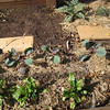 Picture taken October 4, 2012. Bottom: chioggia beets. Tiny sprouts in a row above the beets are radishes, planted direct seeds on Sept. 30. Above the radishes are red cabbages. On the right above the cabbages, the lonely artichoke.