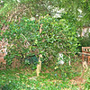 Will this formerly well-proportioned holly regain its pyramidal shape?