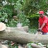 A big old oak comes down.