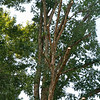 One oak - good to know that Hurricane Irene is unlikely to bring unpleasant downed limbs.