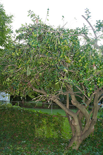 A Burford holly with distinctive mounding branches gone.  How long will it take to grow back?