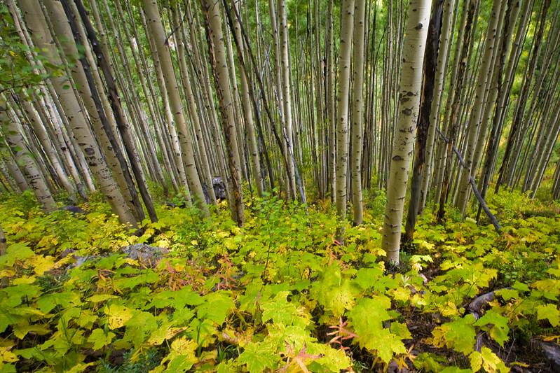 Aspen Grove<br /> Snowmass Wilderness, CO