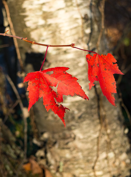 Red Maples & Birch