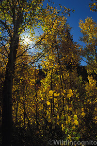 Quaking Aspen Sierra Nevada