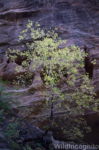 Zion National Park Canyon Tree