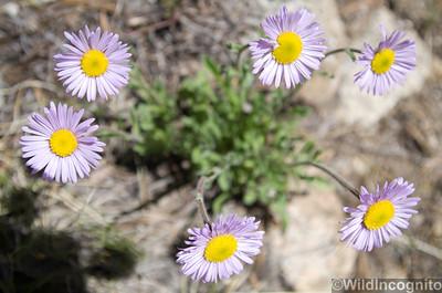 Drawf Alpine Daisy