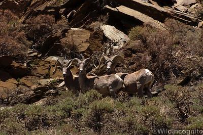 Bighorn Sheep White Mountains