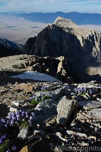 Polemonium Lone Pine Peak
