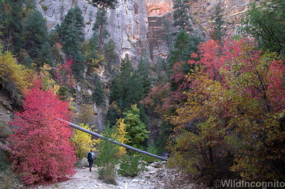 Orderville Canyon Hiker Fall Colors