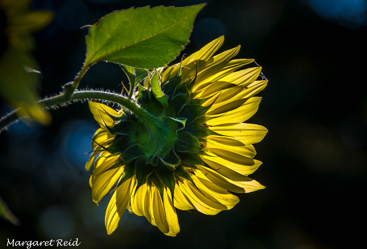 Early morning sunflower in the garden