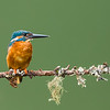 Kingfisher waiting
