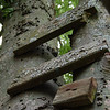old steps nailed to the Hackbery tree in the backyard