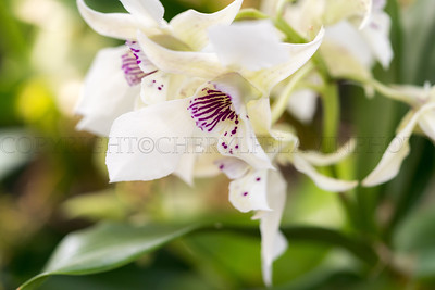 Soft Yellow-White Orchid