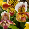 Slipper Orchid Varieties