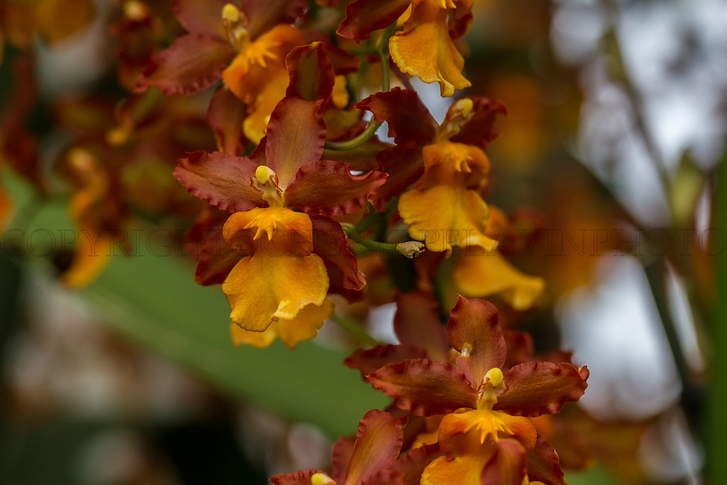 Brown and Gold Colored Reed Orchids