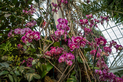 Hot Pink  Striped Orchids Climbing a Pillar