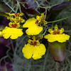 Primrose Yellow Oncidium