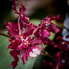 Dark Red & White Miniature Orchid