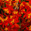 Fiery Red and Yellow Reed Orchids