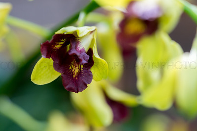 Bright Green & Dark Red Dendrobium