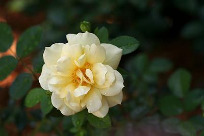 First carpet rose bloom!
