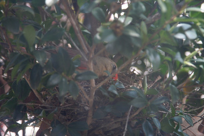 We had some Cardinals nest right outside of our office window.