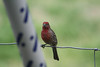 We have lots of birds at our feeders. This is a house finch.