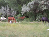 Horses graze in the front yard of the old house in Velarde.