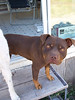 Rufus, the neighbor pit bull is very happy to watch all the activity around the house when he is not playng with Jester.