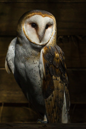Barn Owl and Sunlight