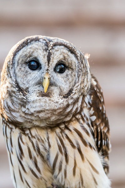 Blind Barred Owl