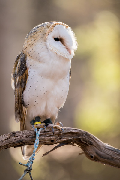 British Barn Owl