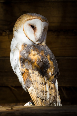 Barn Owl and Sunlight 2