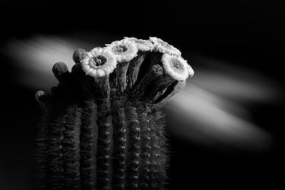 Sonoran Blossoms