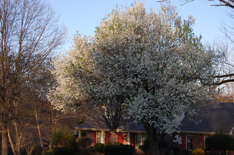 my neighbor's Bradford Pear tree
