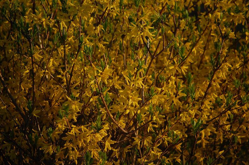 Forsythia turning from full bloom to summer coat