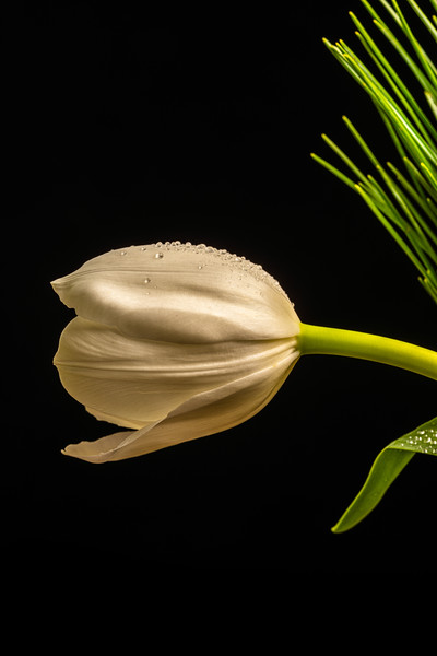 Cut White Tulips with Black and Green