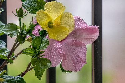 Hibiscus in the Rain
