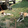 Jersey (on the right) got to play with the stone mason's jack russell puppy.